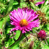 Deep Pink Asters