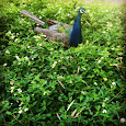 Peafowl Project