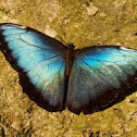 Morpho, Blue Butterfly