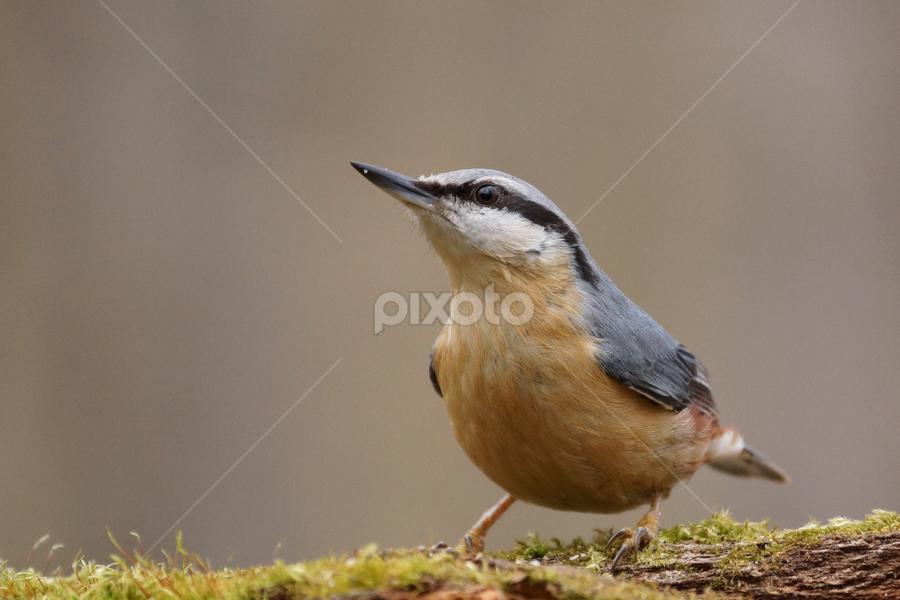 strange look by Zoltan Szabo - Animals Birds ( looking, tiny, bird, sitta europaea, forest, cute, spring, eurasian nuthatch )