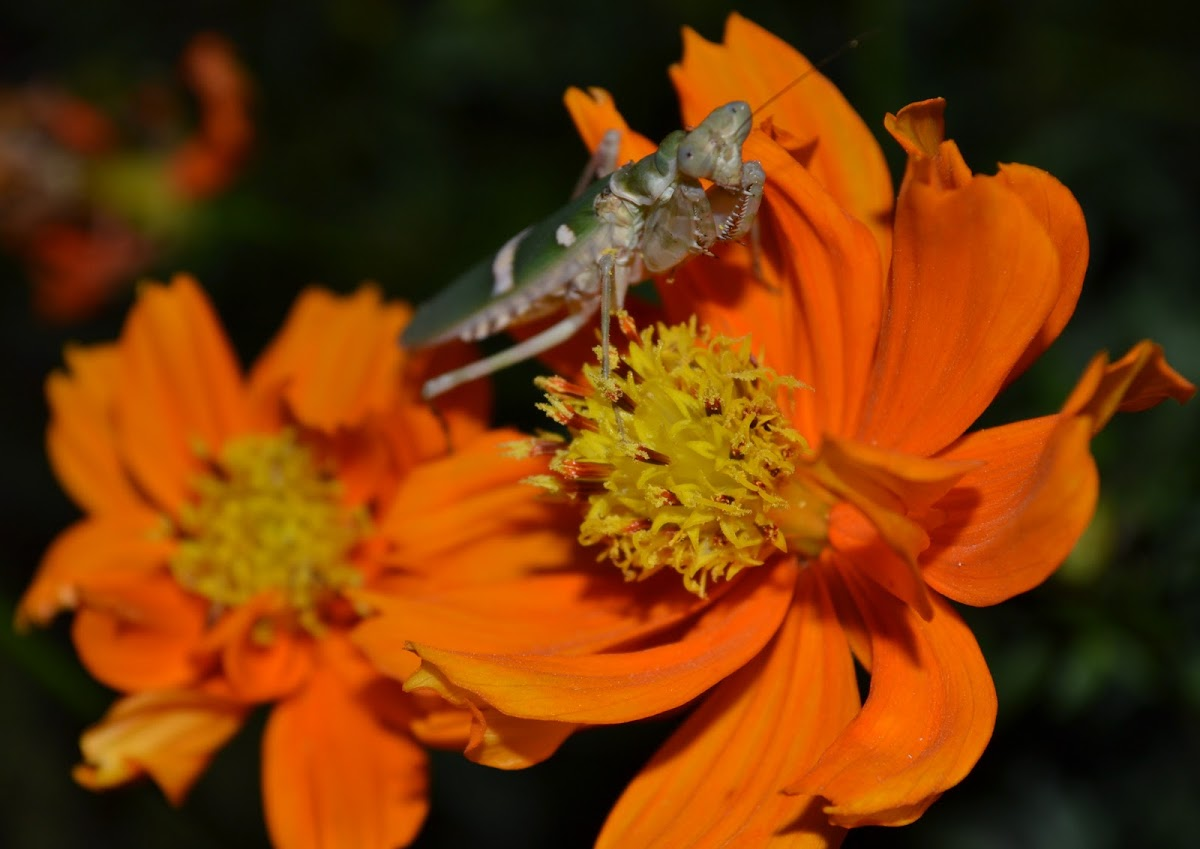 Flower Mantis