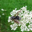 Bald-faced Hornet Mimic
