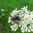 Bald-faced Hornet Mimic