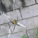 Oval St. Andre's Cross Spider