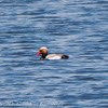 Red-crested Pochard; Pato Colorado