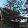 Pine Oak