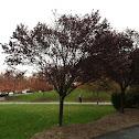 Burbank Plum tree