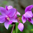 Philippine Ground Orchid