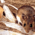 California Deer Mouse