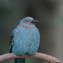 Asian fairy bluebird (female)
