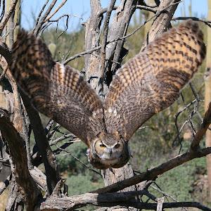owl full rez1.jpg