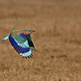 by Sudhir Nambiar - Animals Birds ( bird, fly, flight )