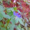 Fringed Spider Flower