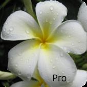 Kauai Flowers Pro