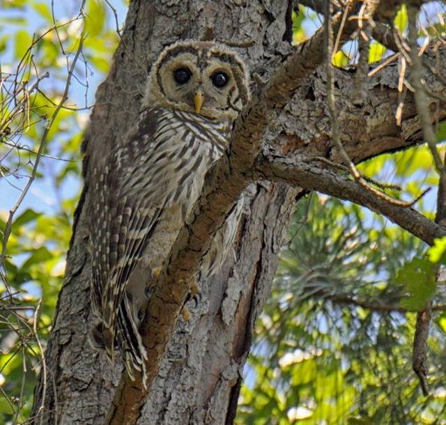 Barred Owl/Hoot Owl