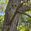 Barred Owl/Hoot Owl