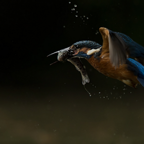 The kingfisher by Alberto Carati - Animals Birds