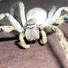 Large Wandering Crab Spider