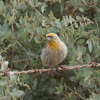 House Finch (yellow variant)