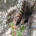 Red Admiral Caterpillar