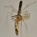 Assassin bug assassinating a wasp