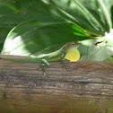 Guadeloupean anole