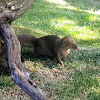 Small Asian Mongoose