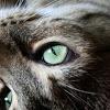 Cat (Tiger)