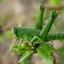 Short-Horned Grasshopper - Nymph