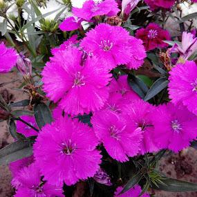 purple buzz by Vaibhav Nahar - Flowers Flower Gardens