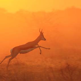 Springbok - Jumping for Gold by Dries Alberts - Animals Other Mammals ( freedom, silhouette, backdrop, striking, free, inspiration, nature, iconic, wonder, motion, black, markings, orange, wild, instinct, alert, majestic, superb, symbolic, dusk, mammal, jump, grace, magnificent, antelope, outdoors, springbok, senses, golden, captivate, horns, unique, colorful, splendor, screensaver, wildlife, blur, run, super, life, harmony, coloration, africa, inspire, classic, animal, icon, speed, beautiful, fantastic, field, red, color, elegant, sunset, peace, background, summer )