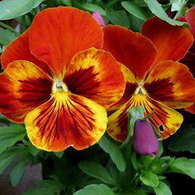 Twin Pansies by Rich Havas - Flowers Single Flower (  )