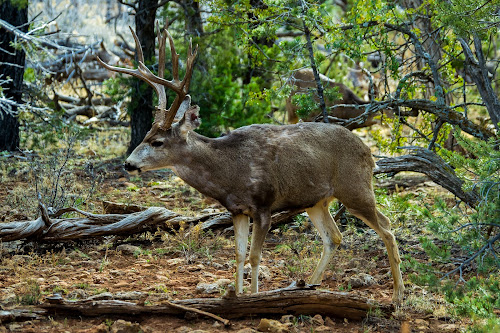 Grand Canyon Buck by Scott Morgan - Animals Other Mammals ( old, horns, antlers, buck, rack, natural, large, deer,  )