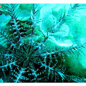 Mediterranean feather star , κρινοειδή