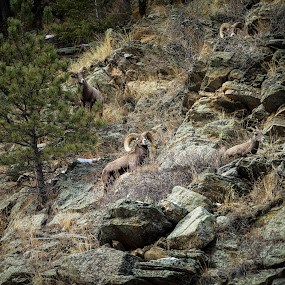 Big Horn Sheep in the Big Thompson Canyon by David Andrus - Animals Other Mammals ( big horn sheep, drake, colorado, big thompson, big thompson canyon )