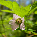 Salmonberry (pale pink)