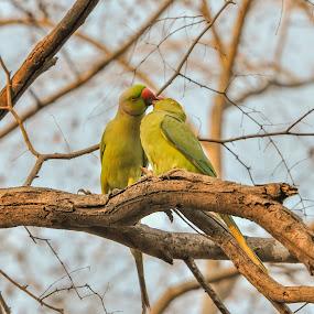 Parrots by Avtar Singh - Animals Birds ( kissing, parrots, avtar singh, parrots eyes )