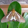 Asota heliconia Moth