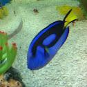 Palette surgeon fish
