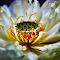 Yellow- white water lily-1.jpg