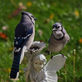 Two Jays on Garden Pixie by Jeff Galbraith - Animals Birds ( jays, blue, ornament, perching, garden, birds, pixie )