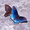 Red-spotted Purple North American brush-footed butterfly