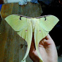 Malaysian Moon Moth - Female