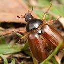 Blanchard Beetle