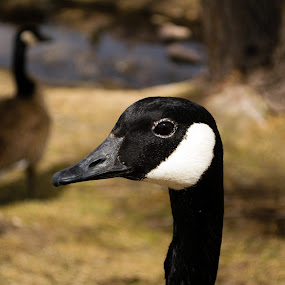 Goose Head by Derrick Leiting - Animals Birds ( close. up, outdoors, d5200, feeding, canadian, beak, colorado, nikon, geese, spring, 18-55 )
