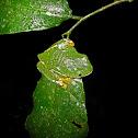 Splendid Treefrog