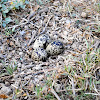 Red wattled lapwing's nest
