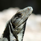 Mexican Spiny-tailed Iguana ( female)