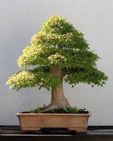 盆栽の木のおすすめ画像3