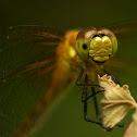Ruby Meadowhawk (Female)